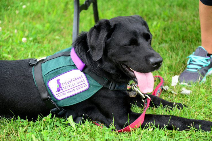 Black Lab wearing service scarf rests on the grass